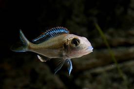 Le Callochromis Pleurospilus est un poisson sabulicole : il vit dans les milieux lacustres sablonneux et se nourrit en filtrant le sable des fonds. © DNAagram CC by-nc-sa 2.0