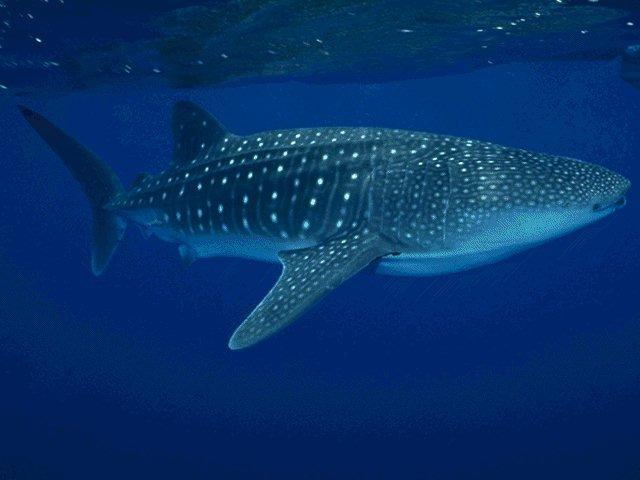 Le requin-baleine par BBC Earth (1/2)