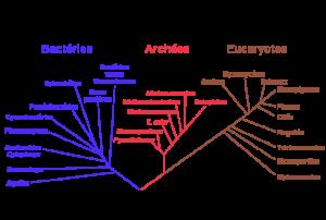 Arbre phylogénétique hypothétique de tous les organismes vivants. L'arbre est basé sur des séquences de l'ARNr 16S. À l'origine proposé par Carl Woese, il montre l'histoire évolutive des trois domaines du vivant (bactéries, archaea et eucaryotes). (c) NAI