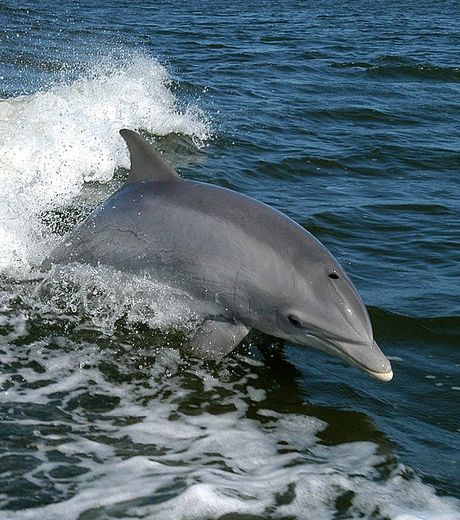 depuis-1998-des-dauphins-communstursiops-apportent-des-presents-aux-hommes-de-tangalooma-une-station-balneaire-de-l-le-moreton-en-australie_56594_w460
