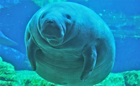 Aussi appelés vaches de mer, les lamantins sont de gros mammifères herbivores. Le lamantin des Caraïbes est une espèce particulièrement menacée, et qui a disparu de nombreuses îles des Antilles. La principale cause de mortalité est la collision avec des bateaux. © Ahodges7, cc by sa 3.0