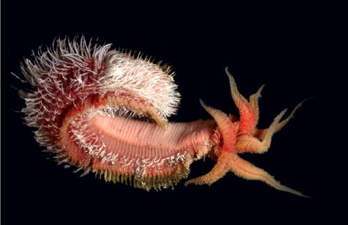Le ver Alvinella Pompejana, ou ver de Pompéi, vit à côté des sources hydrothermales, à 2500 mètres de profondeur. © O. Dugornay