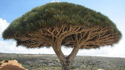 le dragonnier de Socotra ou l'arbre à sang de dragon est l'arbre le plus populaire de Socotra