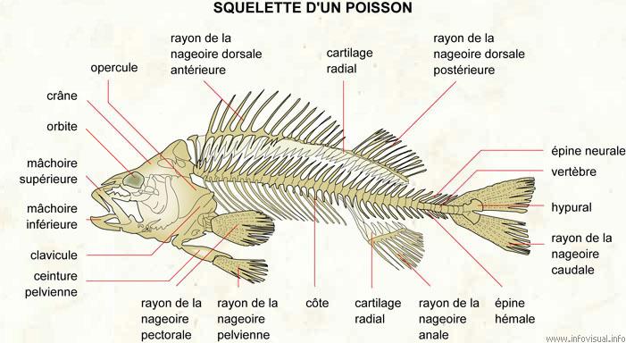 Dans l'ADN du poisson, tout pour faire des doigts (3/6)