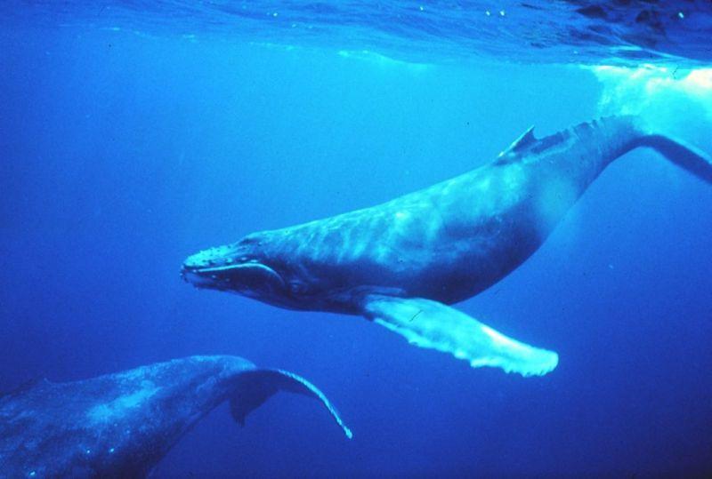 Les baleines à bosse ont un chant structuré, propre à chaque région du monde où elles se reproduisent. Par ailleurs, leur chant évolue à mesure que la baleine vieillit. © NOAA