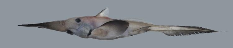 RHINOCHIMAERIDAE crédit : fishesofaustralia.net.au
